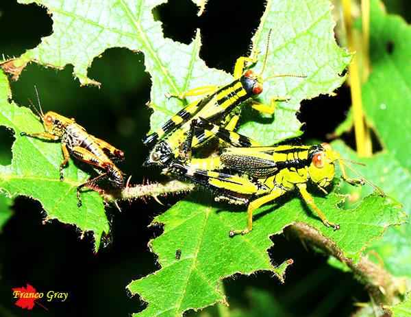 Cavallette che si nutrono delle foglie di un rovo