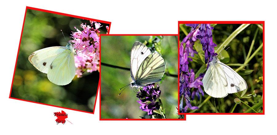 Farfalle su origano, su erba medica, tra gli incolti