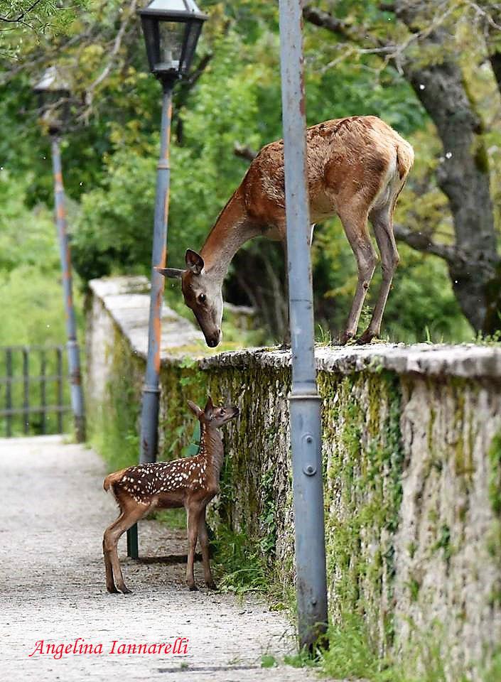 Cerva e cerbiatto presso una recinzione