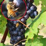 Grappoli maturi di Bonarda e api