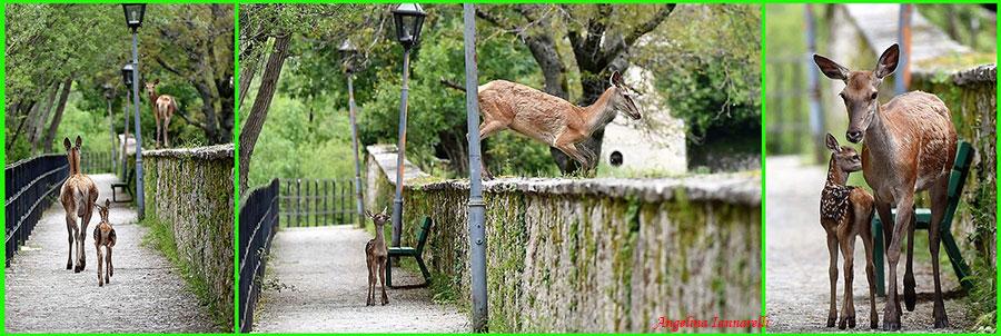 Foto in sequenza: cerva che vuole poratre i suoi cerbiatti oltre la recinzione