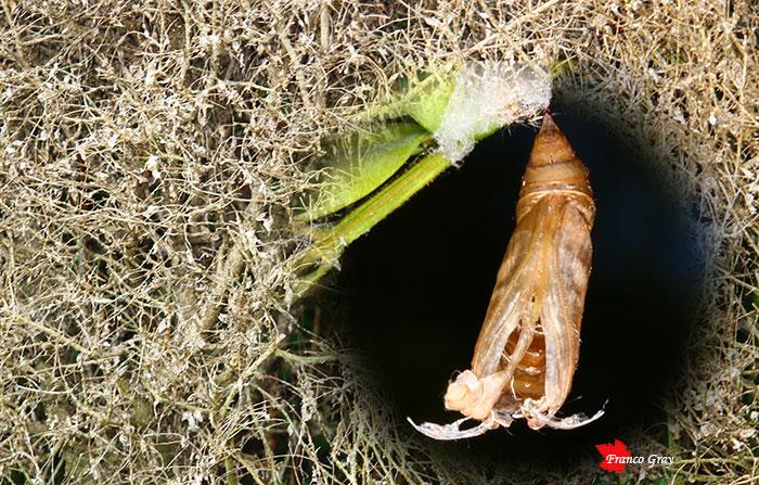 Fotoelaborazione con esuvia di cydalima e sipe di bosso ormai disseccata