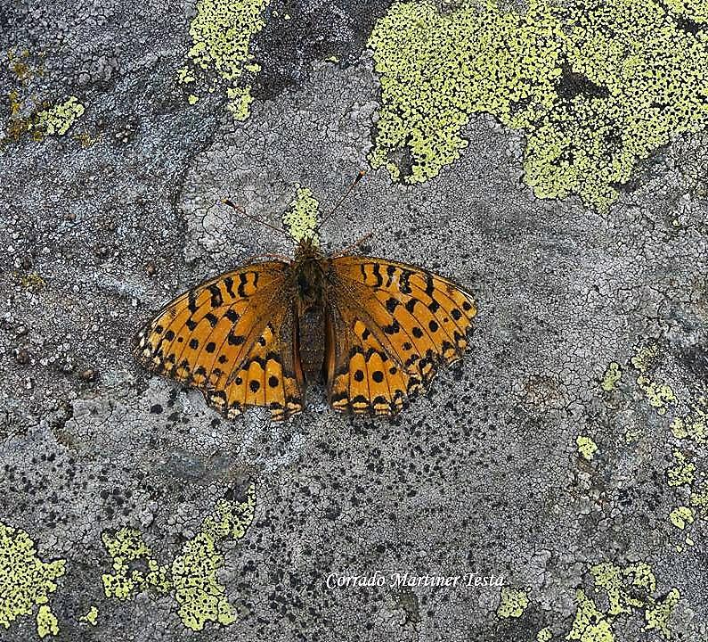 Farfalla tra i licheni