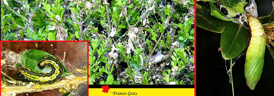 Fotocomposizione con siepe attaccata dai bruchi della Cydalima e crisalide della stessa