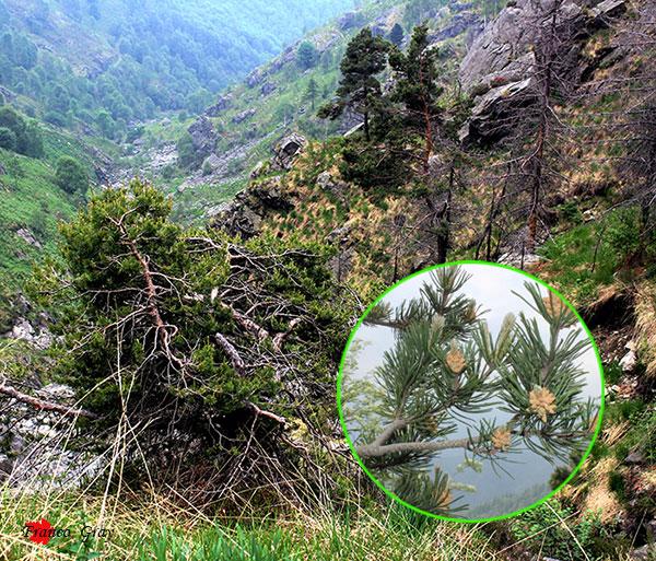 Fotocomposizione con conifere