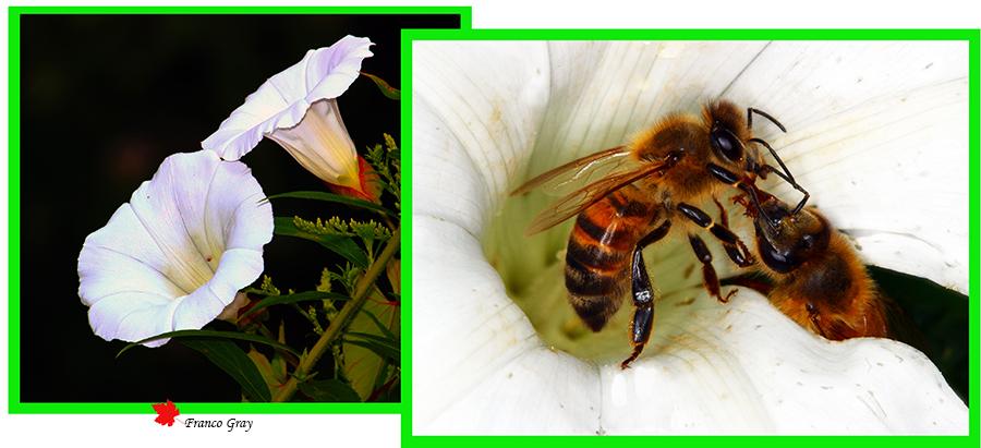 Trofallassi tra due api bottinatrici
