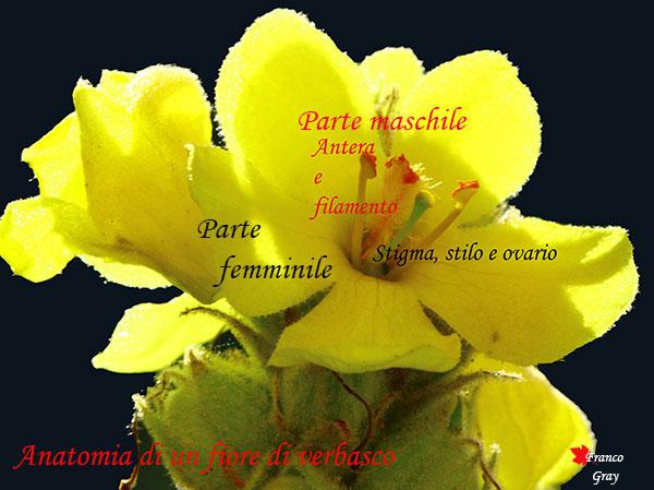 Fiore di verbasco con parte maschile e parte femminile