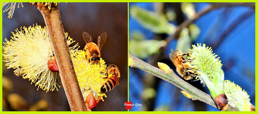 Impollinazione fiori del salicone