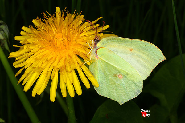 Farfalla su fiore di tarassaco