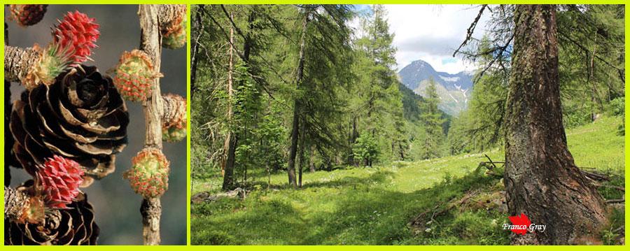 Fotocomposizione: larici - Fiori ai primi tepori e lariceto in estate