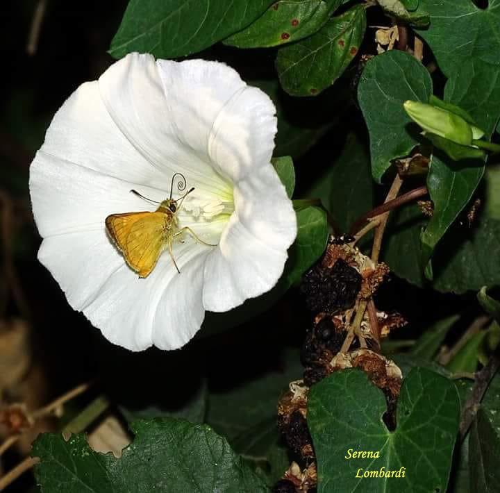 Esperide su fiore di convolvolo