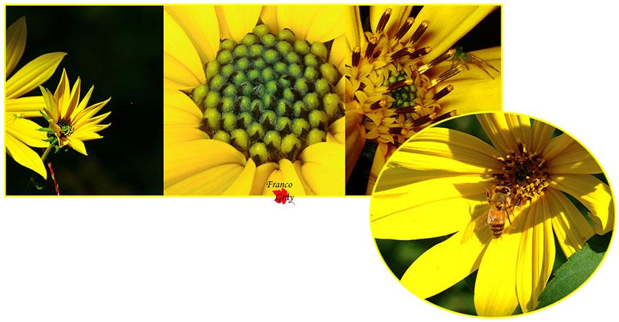 Topinambur capolini e dettagli del fiore