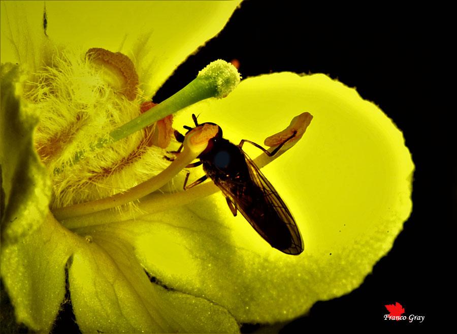 Fiore di verbasco: organi riproduttivi con insetto impollinatore