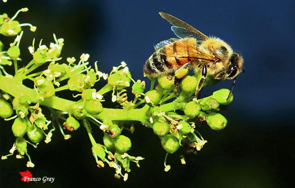 Fioritura della vite: ape sul in formazione