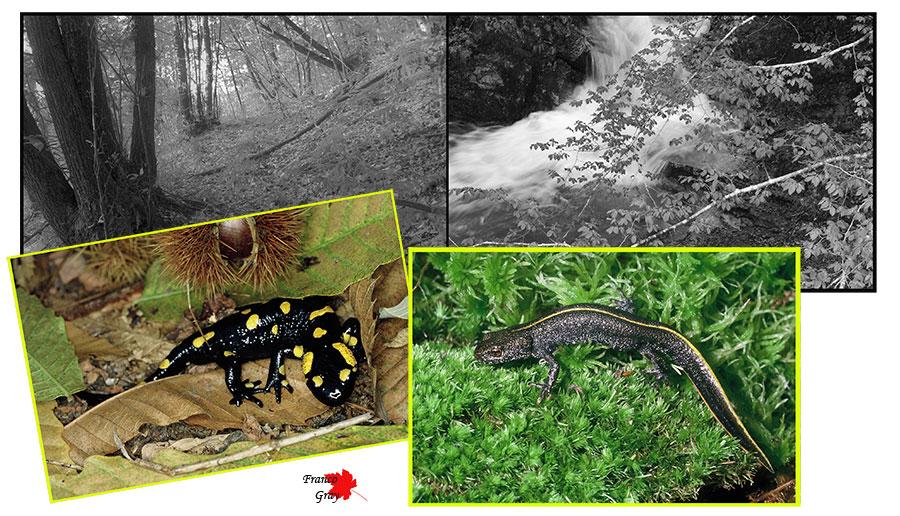 Fotocomposizione con salamdra, tritone, bosco e torrentello