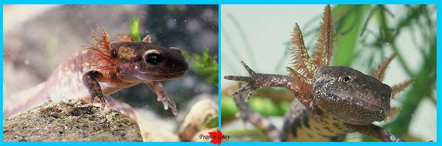 Larve di Salamandra salamandra, branchie