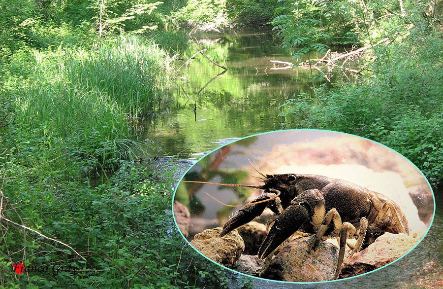 Fotocomposizione con gambero comune  e ambiente  (Foto: Franco Gray)