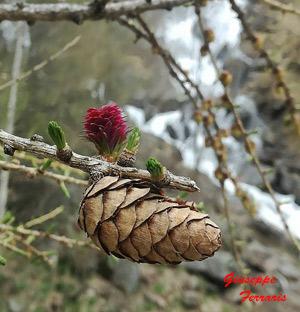 rametto di larice: fiori diventano pigne, nascono le prime foglioline