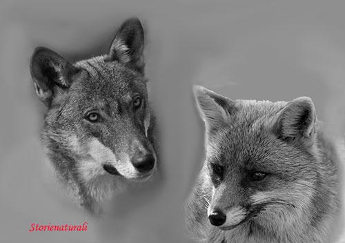 Lupo e volpe Foelaborazione - Foto Angelina Iannarelli e Franco Gray