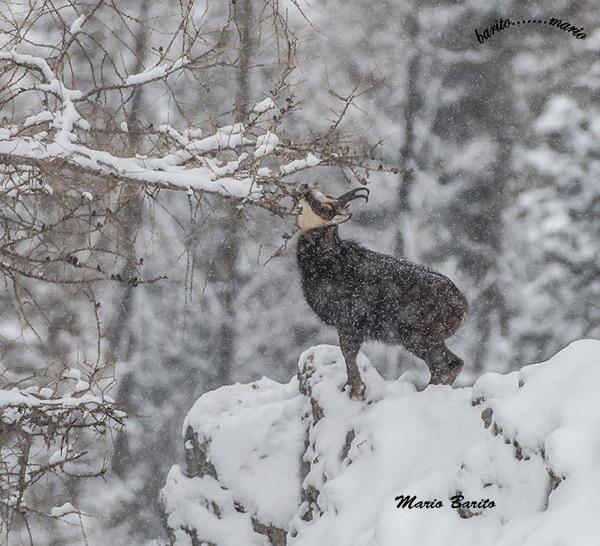 Camoscio sotto la neve che si sporge verso i rametti di larice