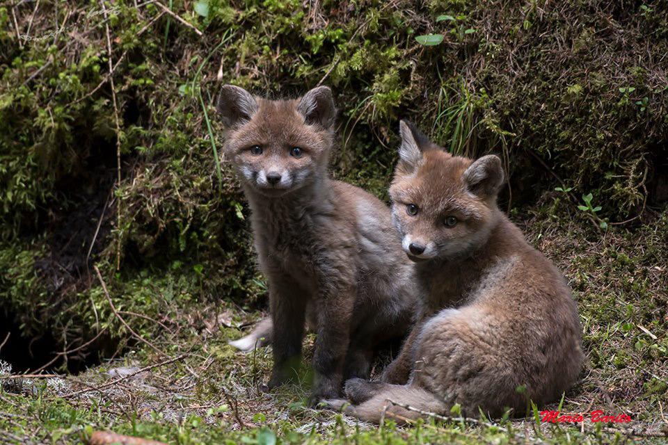 Prime uscite dei volpacchiotti dalla tana (Foto: Mario Barito)