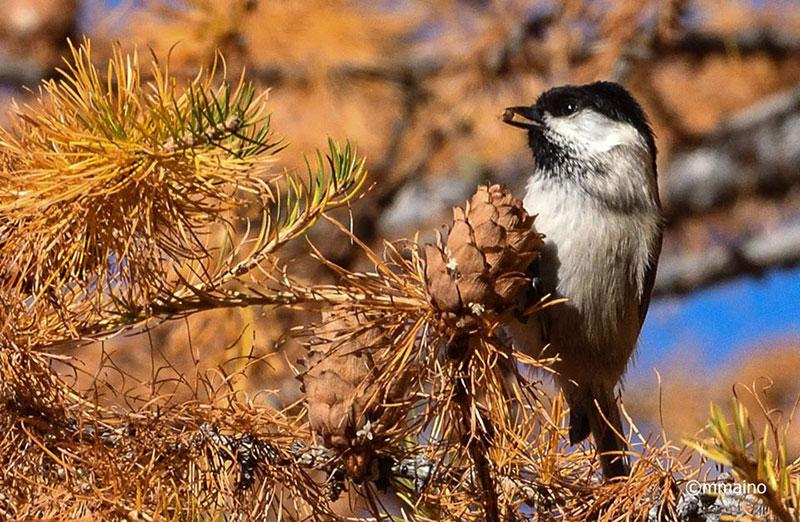 Cincia bigia si nutre di semi di larice (Foto: Mario Maino)