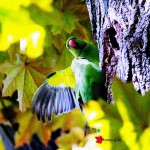Parrocchetto: for d'ingresso al nido (Foto: Franco Gray)