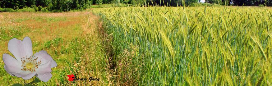 Prato e campo coltivato a cereali. Ai bordi ricche siepi (Fotoelaboraz. Franco Gray)