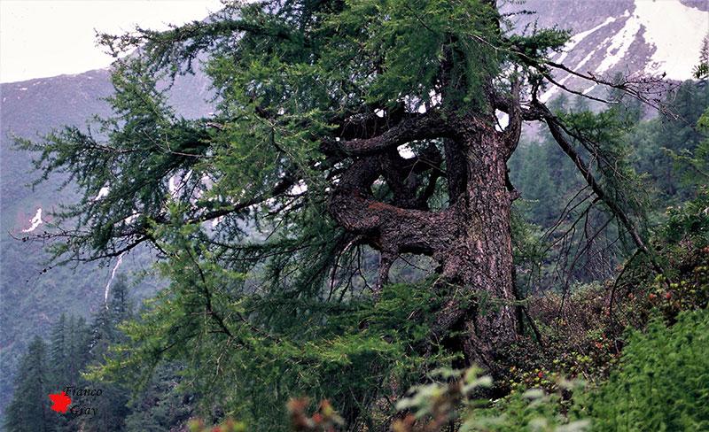 Vetusto larice ai limiti della vegetazione arborea, estate