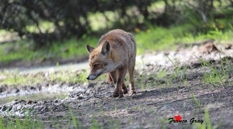 Volpe a caccia fiuta le ytracce di altri animali (Foto: Franco Gray)