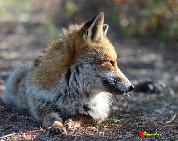 Ritratto di volpe. profilo