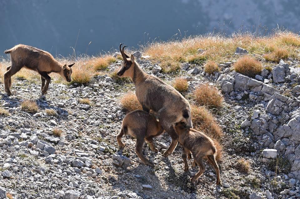 Camoscio d'Abruzzo in allattamento (Foto: Angelina Iannarelli)