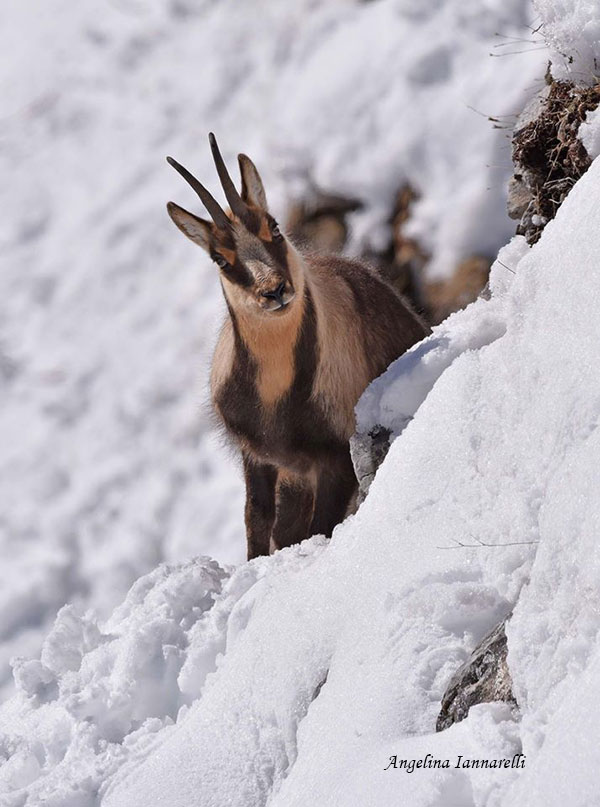 Camoscio appenninico, inverno - (Foto: Angelina Iannarelli