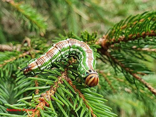 Sfinge del pino: bruco (Foto: Annamaria Portalupi)