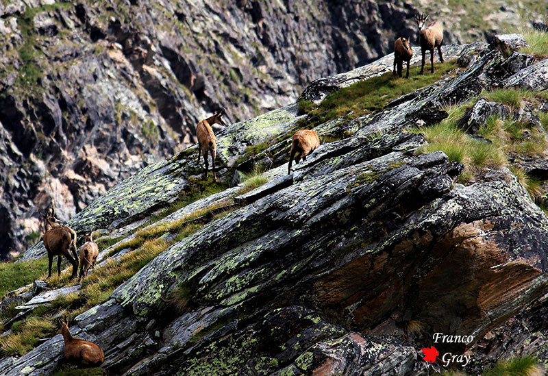 Camosci alpini tra cenge e pareti, estate (Foto: Franco Gray)