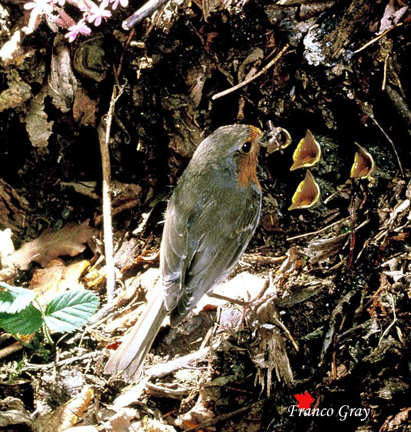 Pettirosso con nidiacei (Foto: Franco Gray)