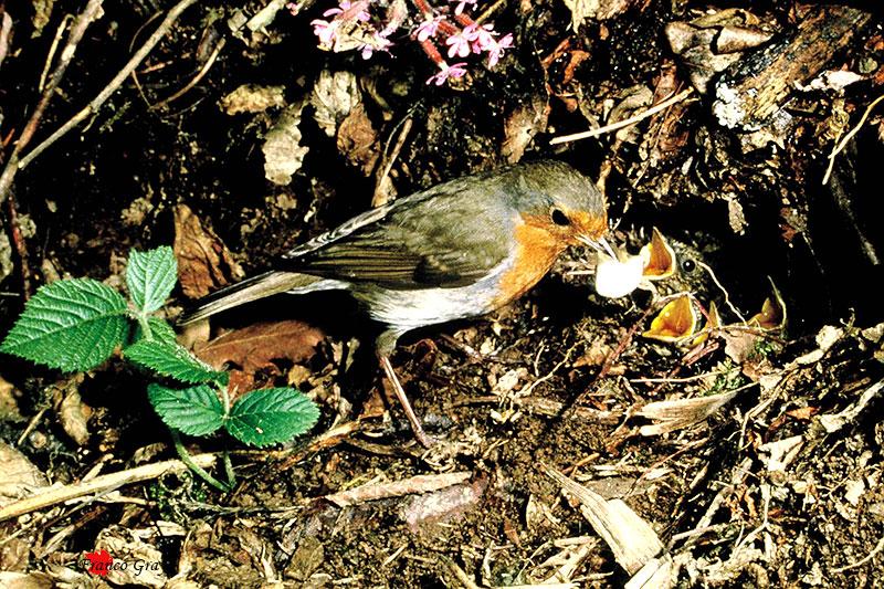 Pettirosso: pulizia del nido (Foto: Franco Gray)
