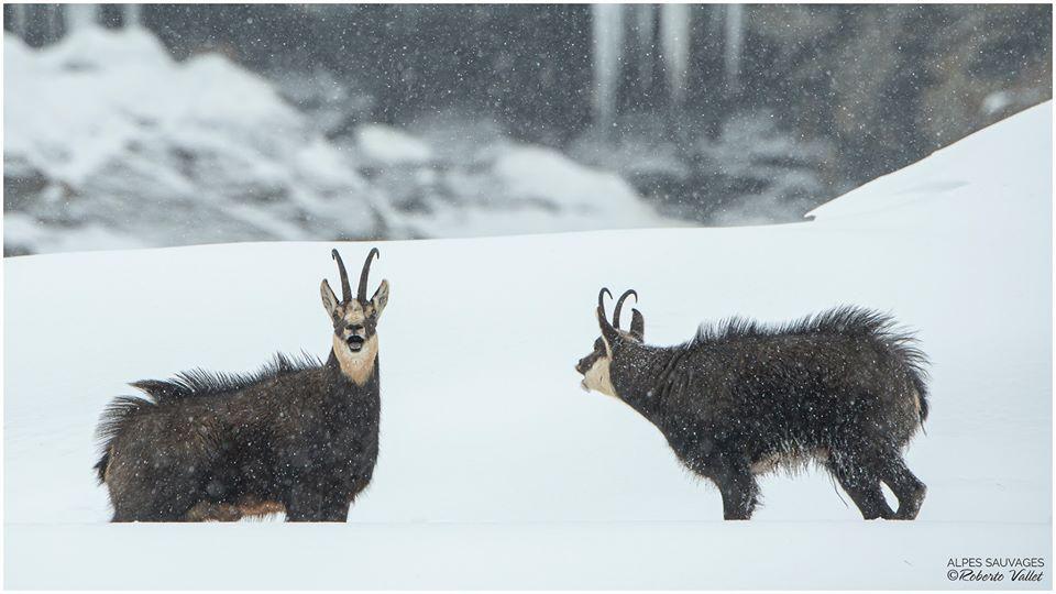 Nella neve, sfida tra camosci maschi all'inizio della stagione riproduttiva