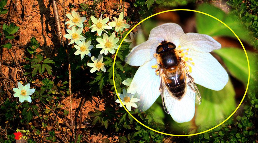 Anemone nemorosa con dettaglio: fiore con sirfide