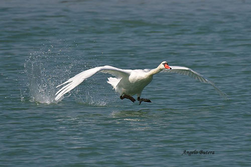 Cigno che si alza in volo (Foto: Angelo Butera)
