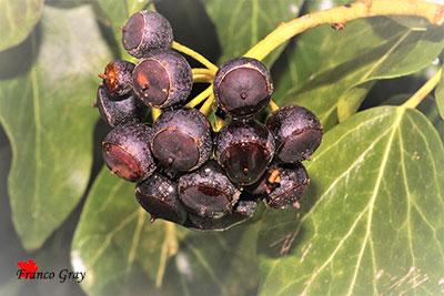 Bacche mature di edera - Gennaio (Foto: Franco Gray)