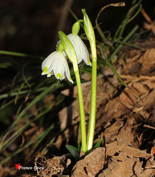 Campanellini di primavera