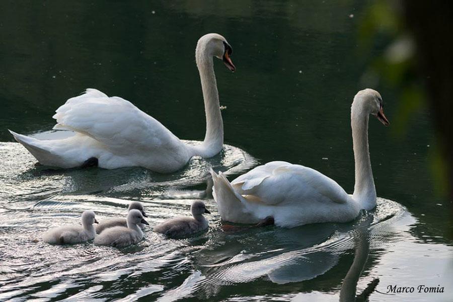 Cigni: maschio (sullo sfondo), femmina e nuovi nati (Foto: Marco Fomia)