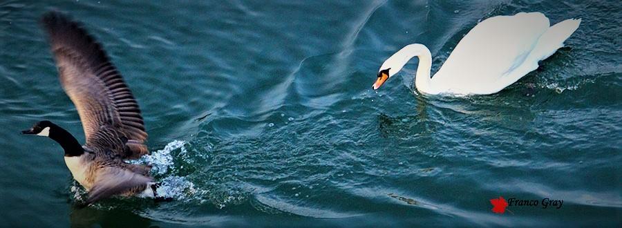 Cigno femmina contro Oca canadese