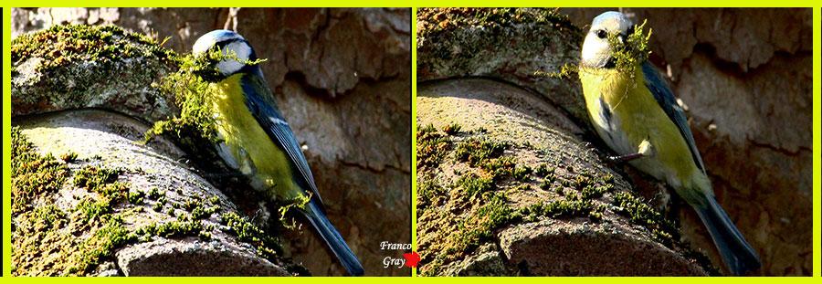 Cinciarelle: l'imbottitura del nido mediante raccolta di muschio (Foto: Franco Gray)