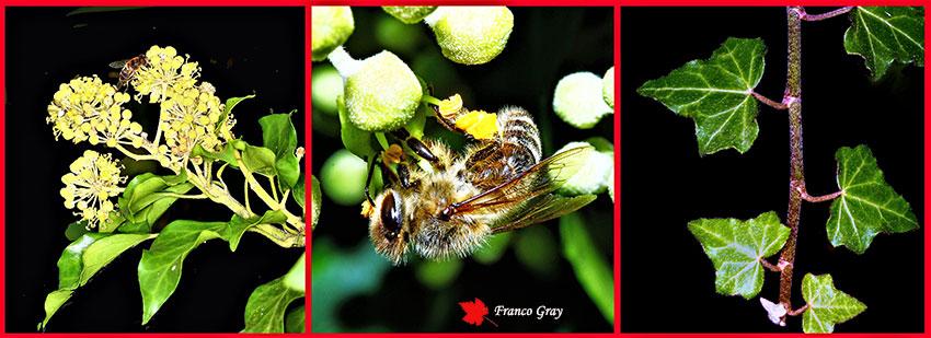 Fotocomposizione Edera - Fronda fertile, ape su fiore, fronda sterile