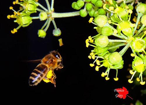 Ape e fiori di edera