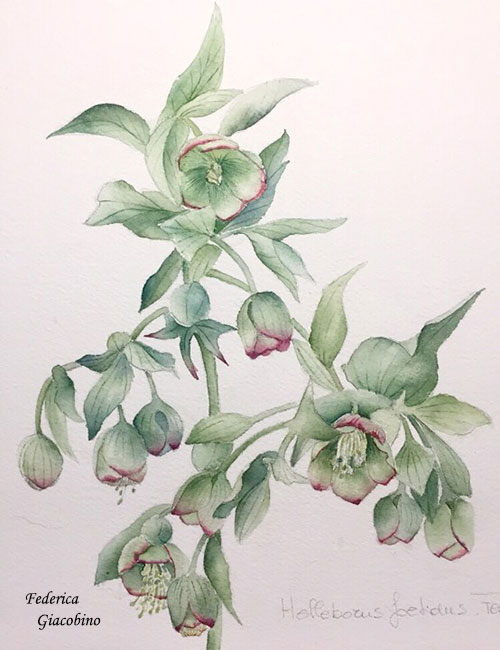 Disegno di un elleboro in fiore