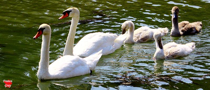 Gigni sull'acqua: padre, madre e soggetti giovani