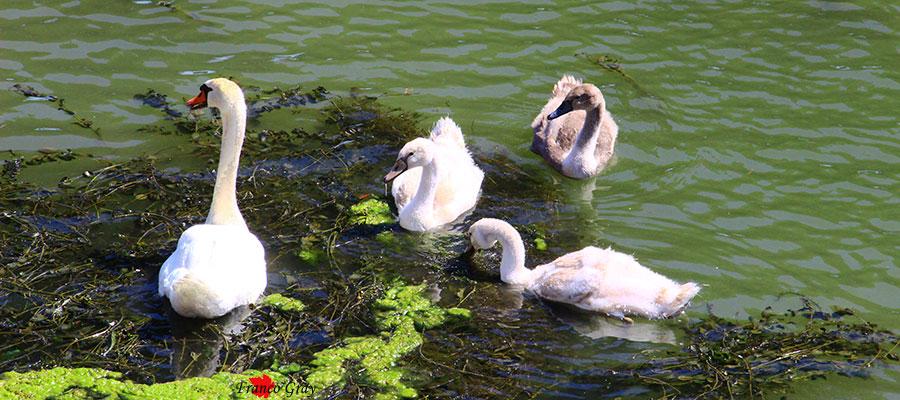 Famiglia di cigni alla ricerca di cibo nell'anasa di un grande fiume (Foto: Franco Gray)